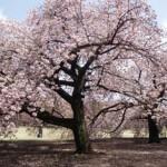テレビ情報 台湾と桜