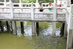 枋寮褒忠義民廟の鯉