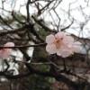 中尊寺、春雨2016