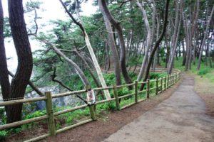 碁石海岸の遊歩道と松